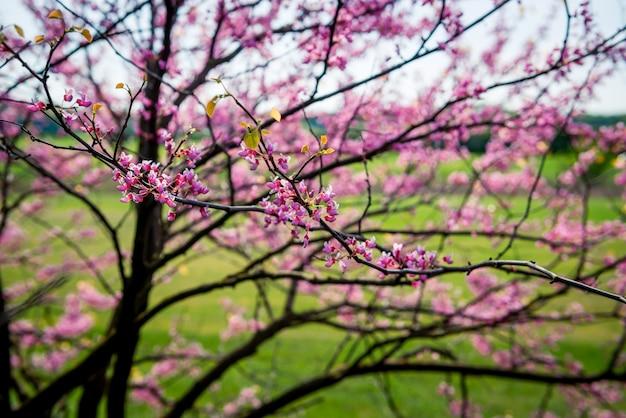 Árvore cercis europeia, ou tsertsis europeia ou judas