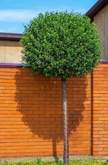 Árvore com a copa do círculo verde perto da parede de tijolo laranja em um dia ensolarado de verão.