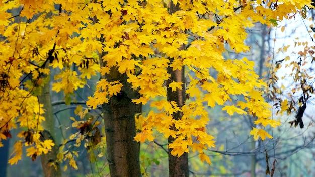 Árvore com folhas amarelas de outono, fundo de outono