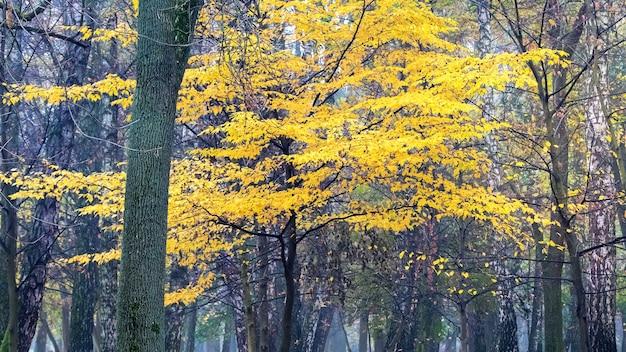 Árvore com folhas amarelas no parque no outono