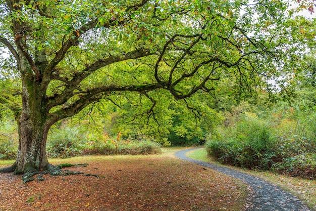 Árvore com galhos largos e folhas verdes ao lado de um caminho sinuoso na floresta