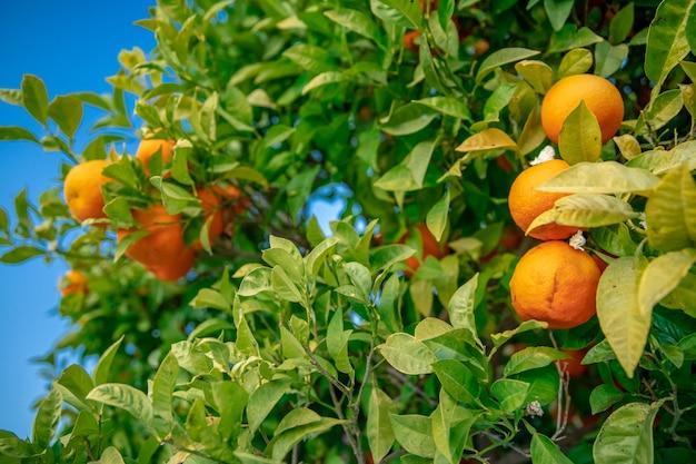 Árvore com laranjas iluminadas pelo sol