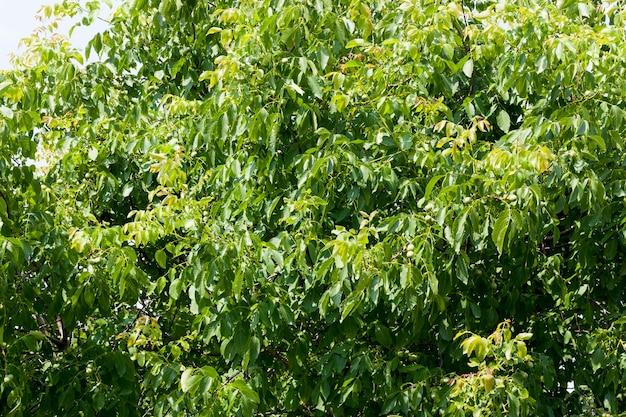 Árvore com nozes verdes em cultivo de nozes