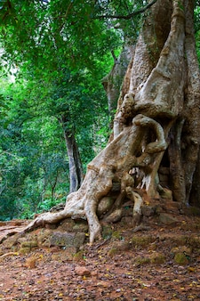 Árvore com raízes finas em angkor wat, camboja