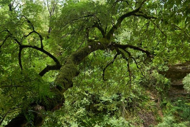Árvore com tronco coberto de musgo em floresta tropical montanhosa