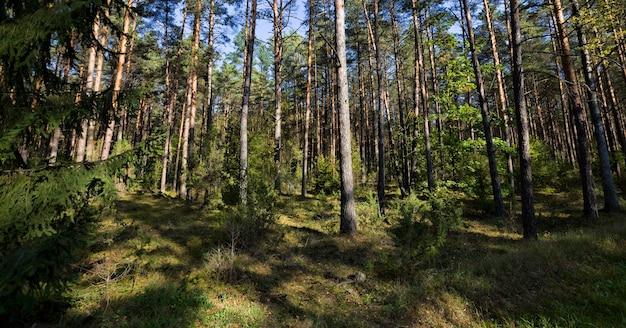 Árvore conífera e caducifólia