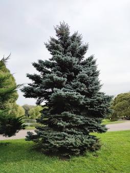 Árvore conífera