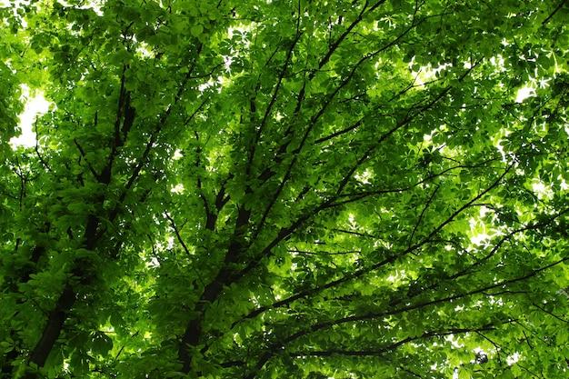 Árvore da coroa no verão