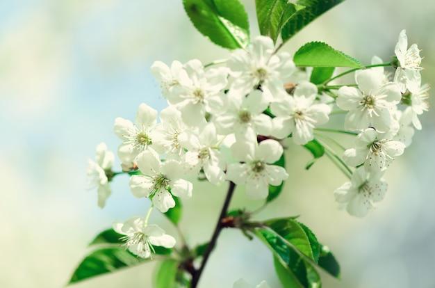 Árvore da flor, fundo da natureza da mola. dia ensolarado. páscoa e conceito de florescência.