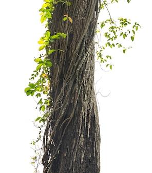 Árvore da selva isolada