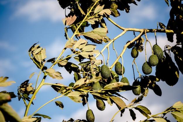 Árvore de abacate com muitas frutas que penduram de seus ramos no sol.