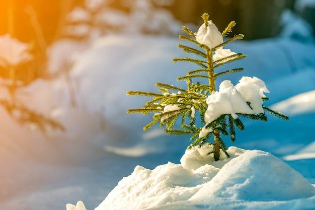 Árvore de abeto vermelho concurso jovem com agulhas verdes cobertas com neve profunda e gelo no fundo do espaço cópia colorida brilhante. cartão de feliz natal e feliz ano novo.