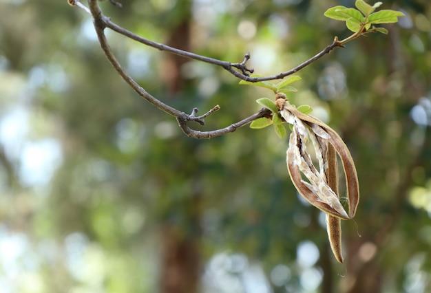 Árvore de algodão em tropical