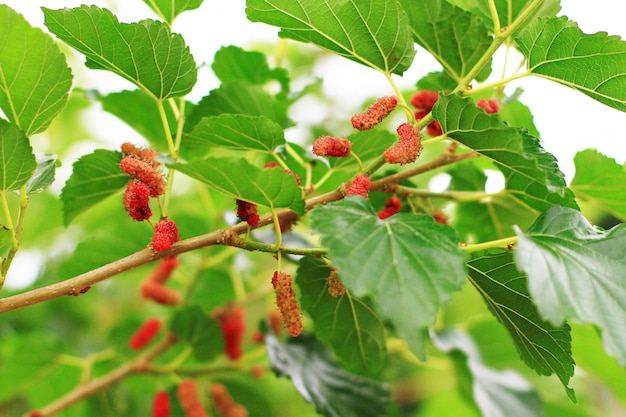 Árvore de amoreira no jardim e vitamina para saudável.