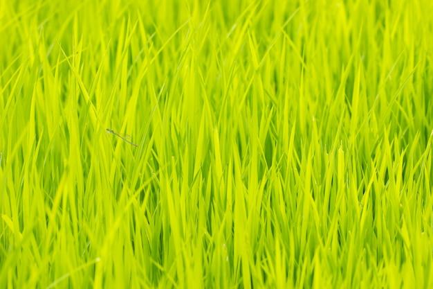 Árvore de arroz de bebê na fazenda orgânica à luz do dia. conceito de agricultura e agricultor. fundo