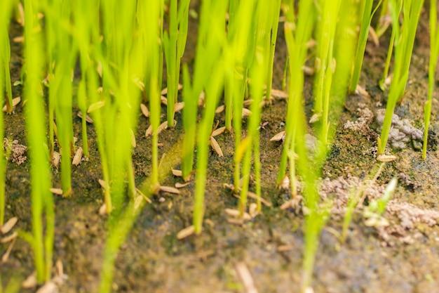 Árvore de arroz de bebê na fazenda orgânica à luz do dia. conceito de agricultura e agricultor.