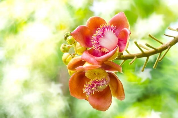 Árvore de bala de canhão de flores no jardim da tailândia