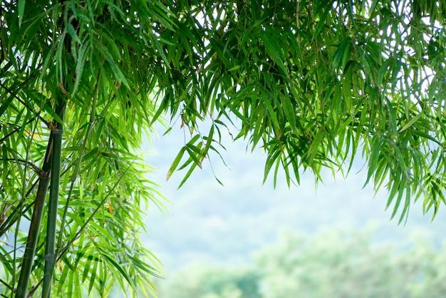 Árvore de bambu verde de textura de fundo