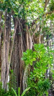 Árvore de banyan com raízes arejadas na ilha, maldivas.