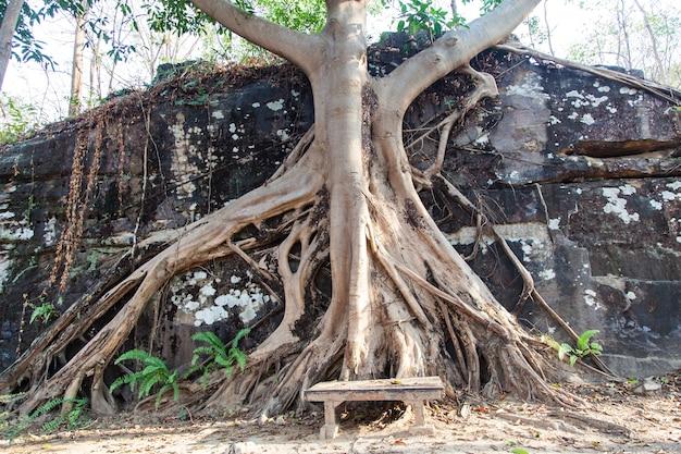 Árvore de banyan grande com raízes na rocha nas florestas da tailândia.