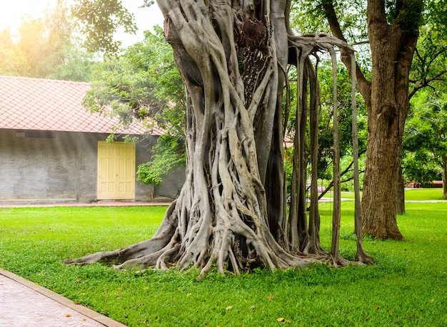 Árvore de banyan grande