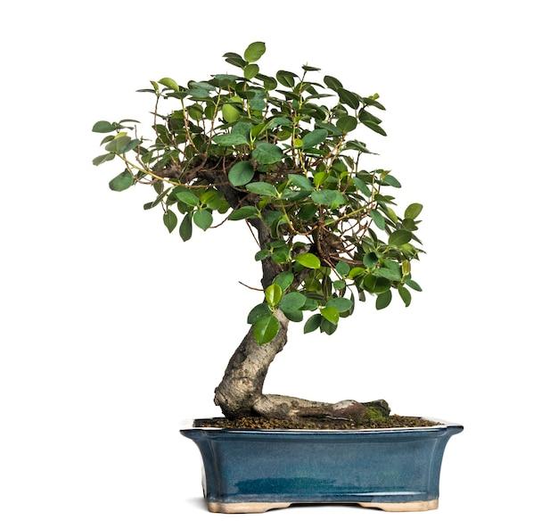 Árvore de bonsai ficus panda, ficus retusa, isolado no branco