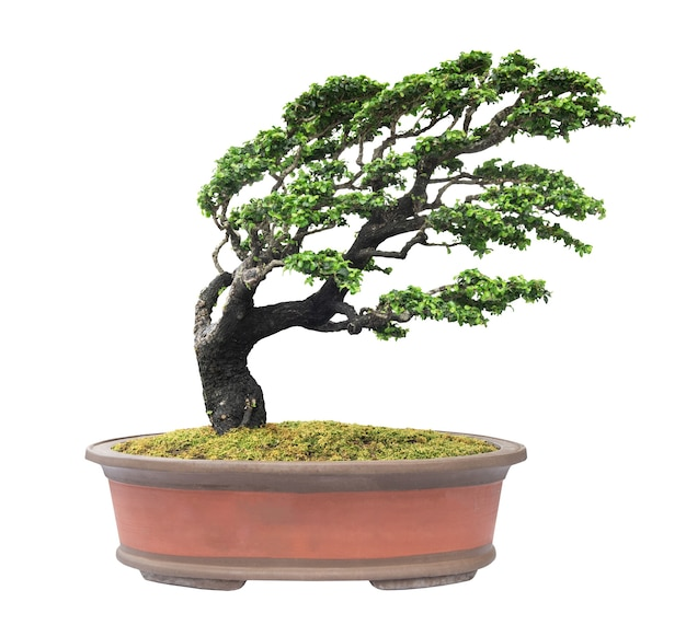 Árvore de bonsai isolada no fundo branco com traçado de recorte.