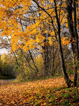Árvore de bordo amarelo em um fundo de outono ensolarado natural brilhante. visão vertical.