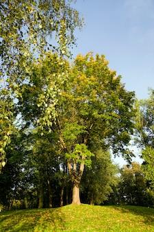 Árvore de bordo com folhagem amarelada