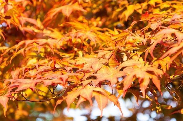 Árvore de bordo com folhas amarelas no outono