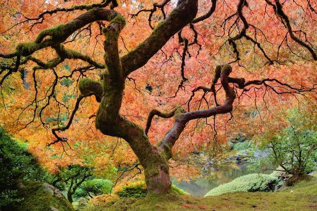 Árvore de bordo japonês velho em queda