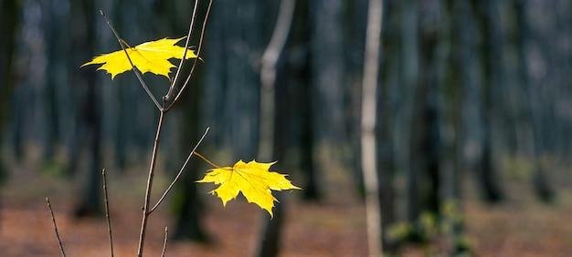 Árvore de bordo jovem com folhas de bordo amarelas em uma floresta escura