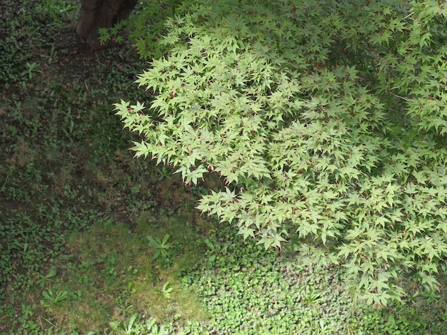 Árvore de bordo verde e gramado