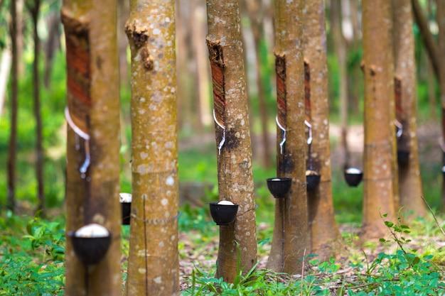 Árvore de borracha e tigela cheia de látex.