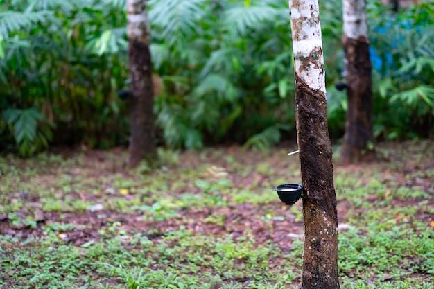 Árvore de borracha