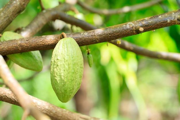 Árvore de cacau (theobroma cacao). vagens de cacau orgânico na natureza. (árvore de chocolate)