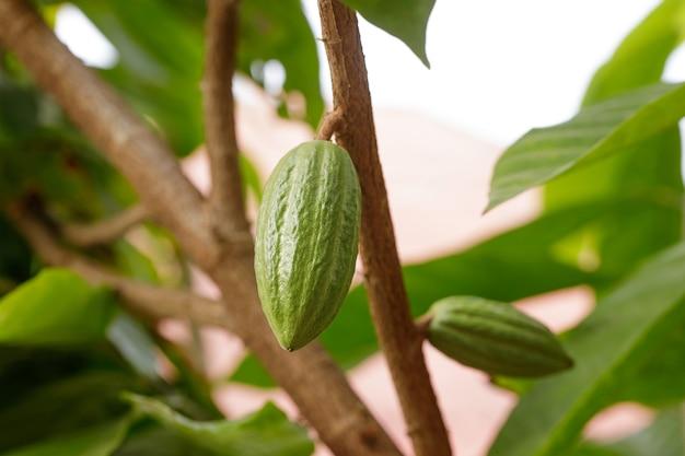 Árvore de cacau (theobroma cacao). vagens de cacau orgânico na natureza.