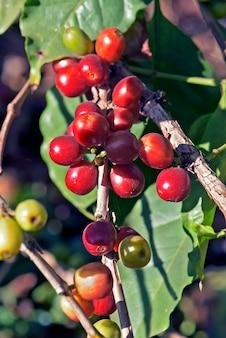 Árvore de café com amadurecimento de frutos