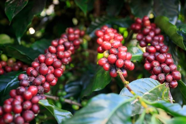 Árvore de café com grão de café na plantação de café