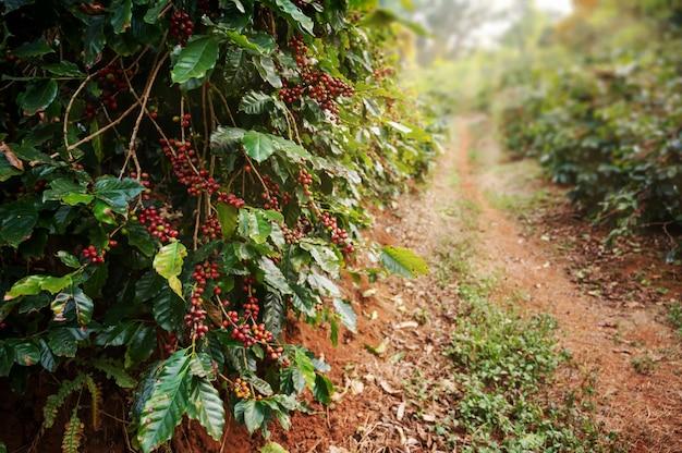 Árvore de café com grãos de café arábica frescos
