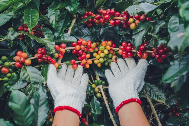 Árvore de café com grãos de café na plantação de café, como colher grãos de café. trabalhador colheita de grãos de café arábica.