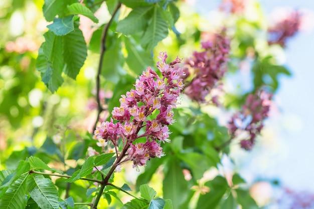 Árvore de castanha de florescência.