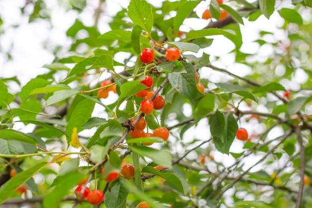 Árvore de cereja com frutos maduros. deliciosas frutas com vitaminas saudáveis no verão.