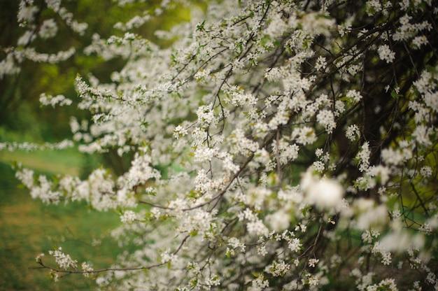 Árvore de cereja de florescência branca linda e macia primavera