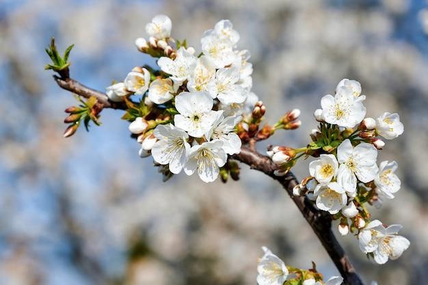 Árvore de cereja de florescência na moldávia