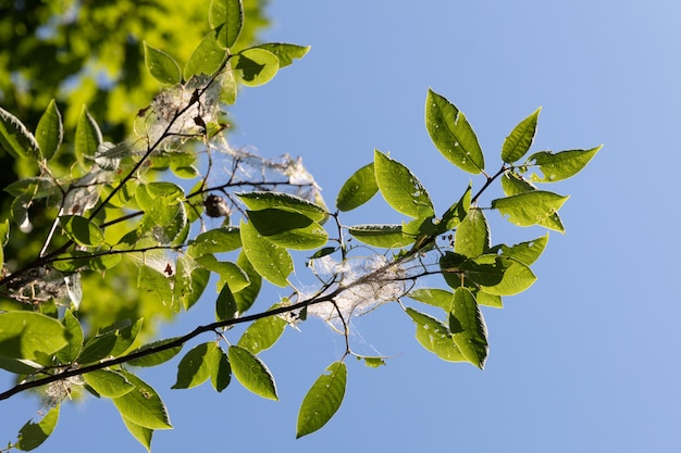 Árvore de cereja de pássaro no jardim infestado de lagartas de mariposa de eixo arminho