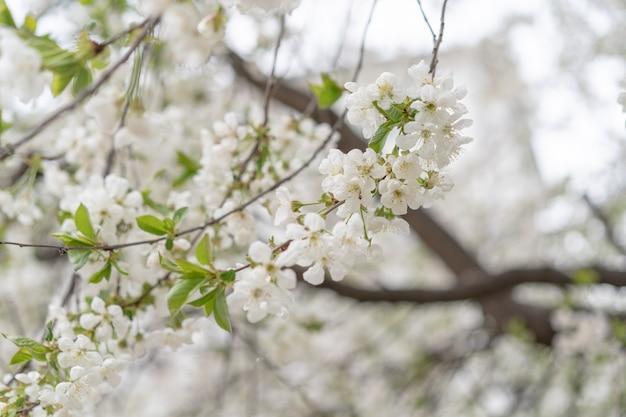 Árvore de cereja em flor