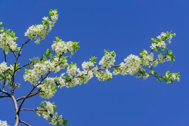 Árvore de cereja florescendo close-up.