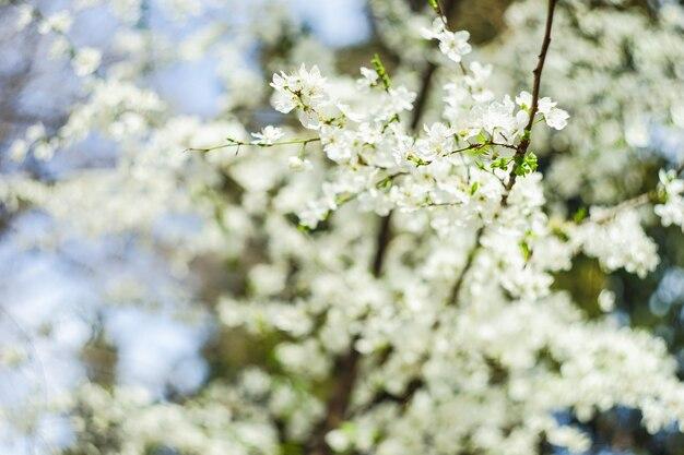 Árvore de cereja florescendo