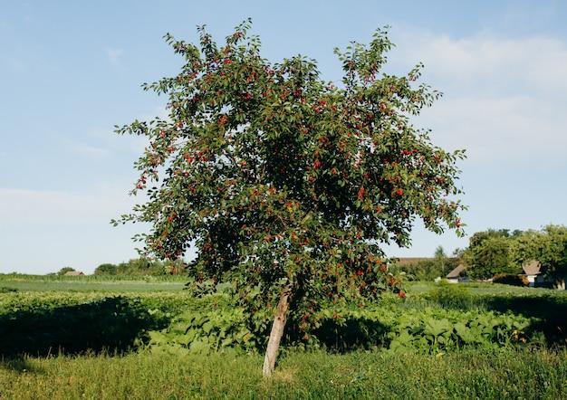 Árvore de cereja solitária cheia de bagas vermelhas